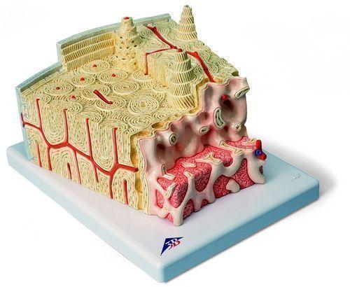 3B MICROanatomy™ Knochenstruktur - 80-fache Vergrößerung A79