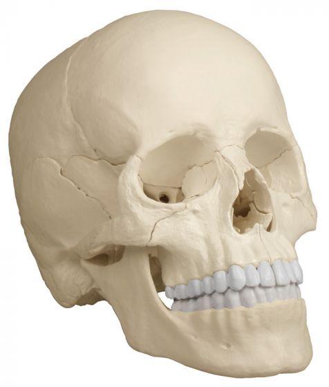 Steckschädel - Anatomische Ausführung, 22-teilig R4701 Erler Zimmer