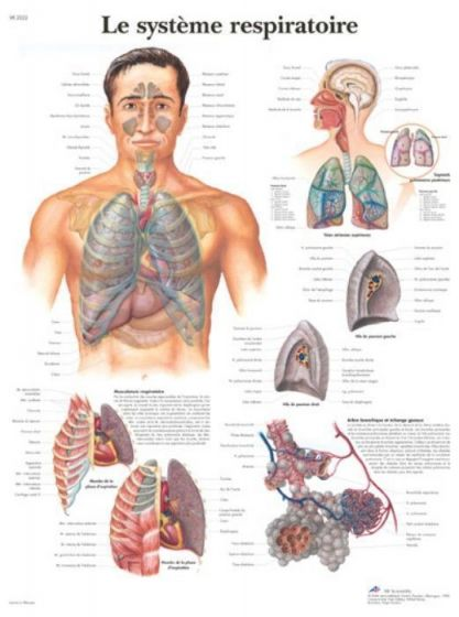 Lehrtafel - Das Atmungssystem VR2322L