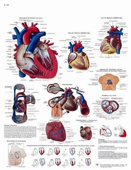 Lehrtafel - Das menschliche Herz - Anatomie und Physiologie VR2334L