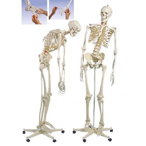 Luxus-Skelett Fred (1 Hand und 1 Fuß elastisch), auf 5-Fuß-Rollenstativ A15/2