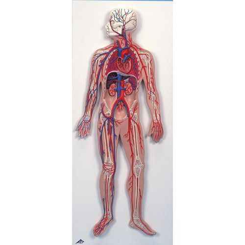 Blutkreislauf G30