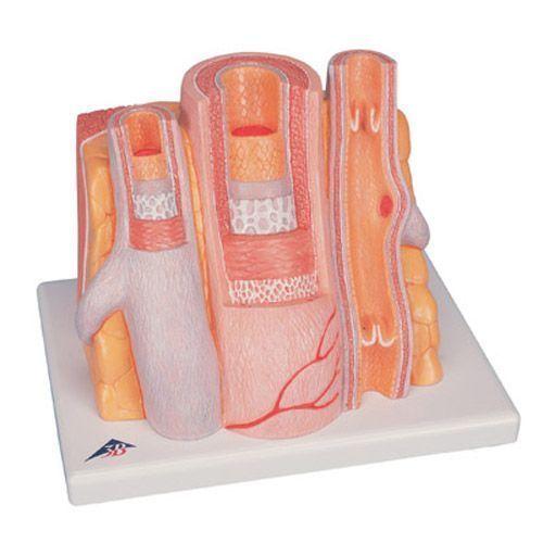 3B MICROanatomy™ Arterie und Vene - 14-fache Vergrößerung G42