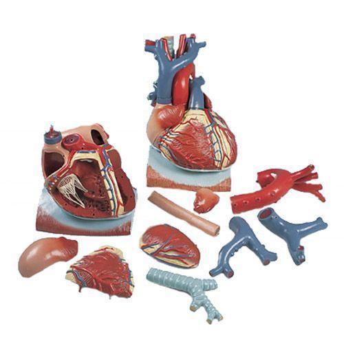 Herz auf Zwerchfell, 3-fache Größe, 10-teilig VD251