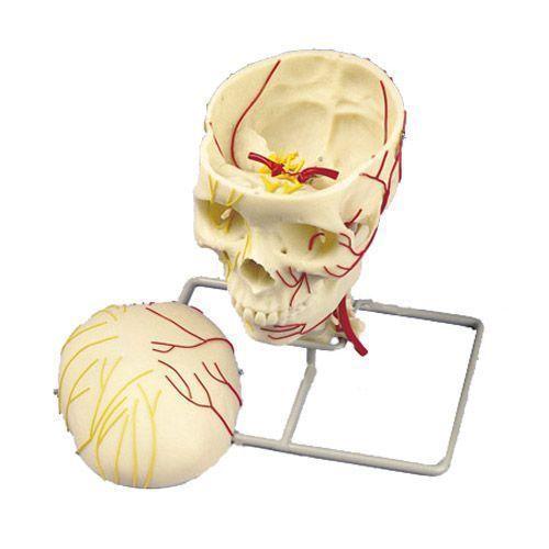 Neurovaskulärer Schädel W19018