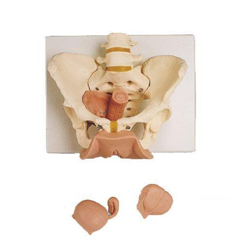 Weibliches Beckenskelett mit Genitalorganen, 3 teilig L31