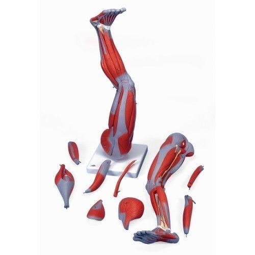 Muskelbein, 9-teilig M20