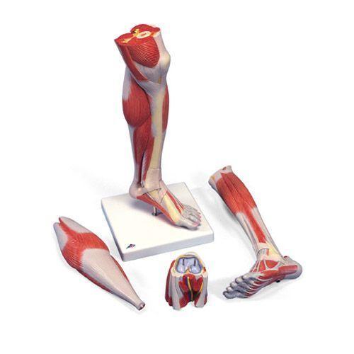 Luxus-Muskelunterbein, 3-teilig M22