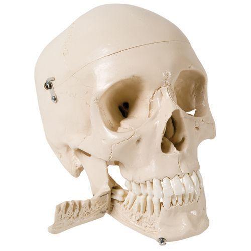 Schädel mit Zähnen zum Extrahieren, 4-teilig W10532