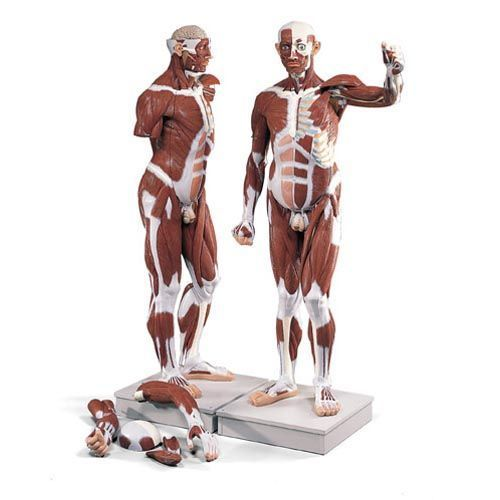 Lebensgroße männliche Muskelfigur, 37-teilig VA01