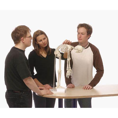 Miniatur Skelett-Modell Paul mit herausnehmbarer Wirbelsäule Erler Zimmer