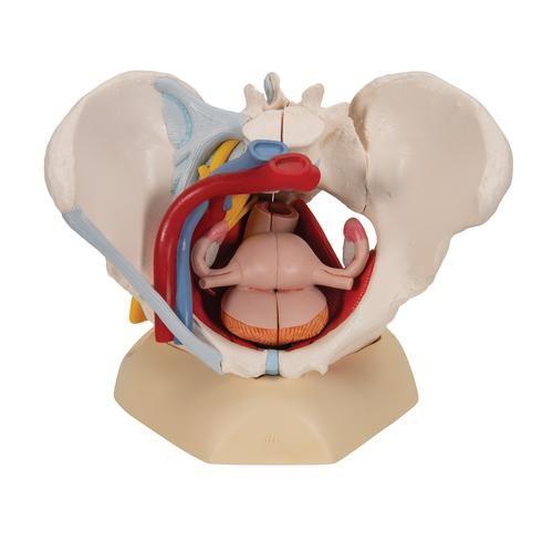 Weibliches Becken mit Bändern, Gefäßen, Nerven, Beckenboden und Organen, 6-teilig H20/ 4