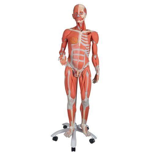 Muskelfigur, zweigeschlechtig, 45-teilig B50