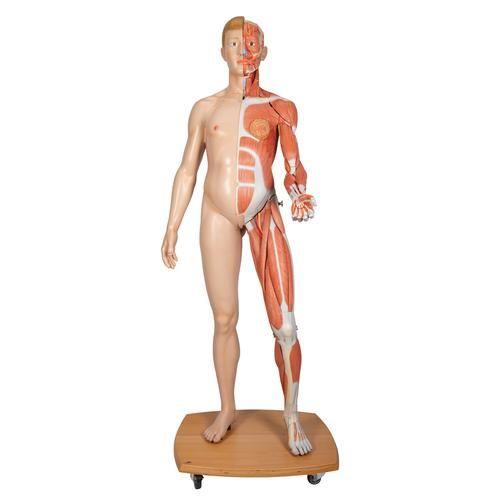 Lebensgroße zweigeschlechtige 3B Scientific Muskelfigur, europäisch, 39-teilig B53