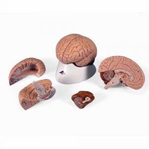 Gehirn, 4-teilig C16