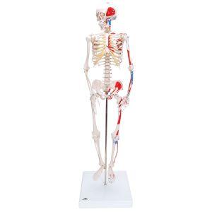 "Mini-Skelett ""Shorty"" mit Muskelbemalung auf Sockel A18/5"