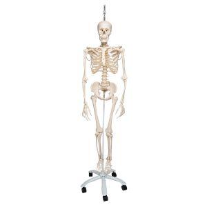 Physiologisches Skelett Phil auf Hängestativ A15/3