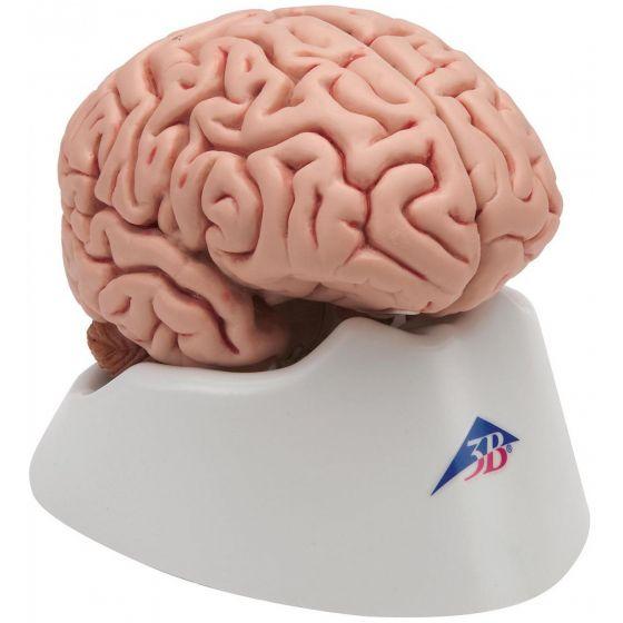 Klassik-Gehirn, 5-teilig C18