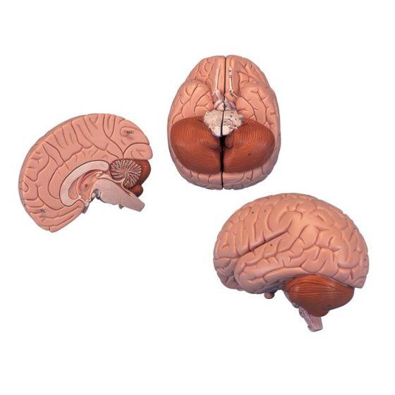 Gehirn, 2-teilig C15