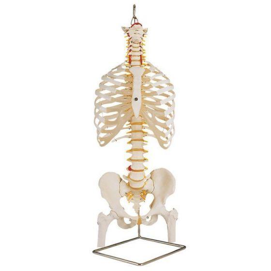 Klassische flexible Wirbelsäule mit Brustkorb und Oberschenkelstümpfen