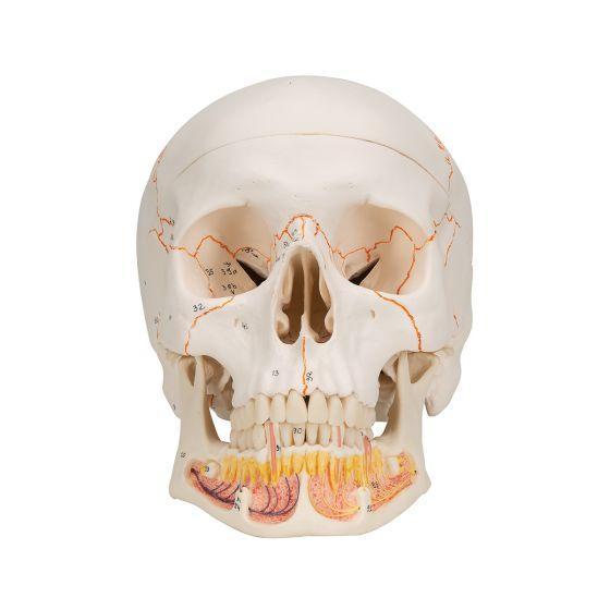 Klassik-Schädel mit geöffnetem Unterkiefer, 3-teilig A22