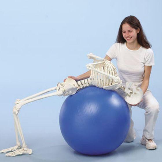 """Menschliches Skelett """"Hugo"""" Erler Zimmer"""