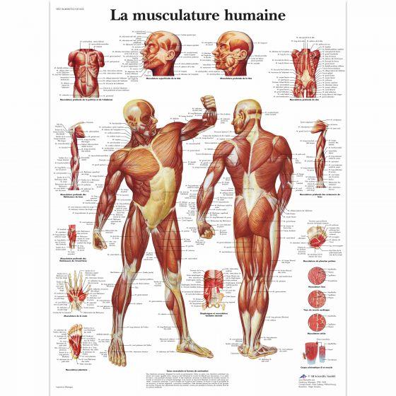 Lehrtafel - Die menschliche Muskulatur VR2118L