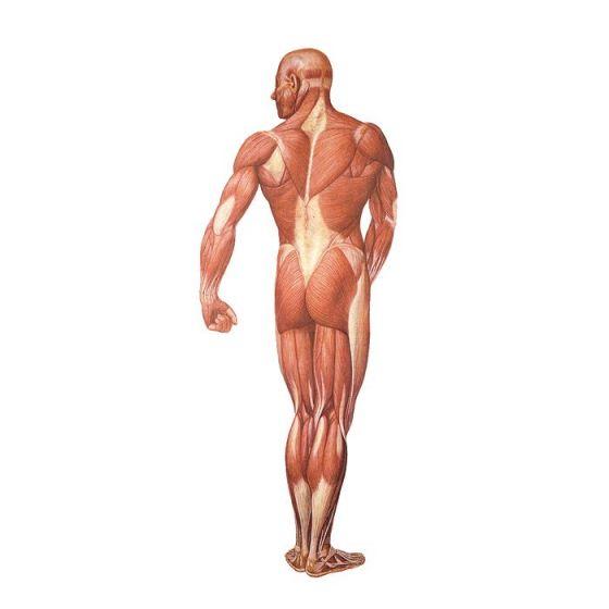 Rückansicht der menschlichen Muskulatur V2005U