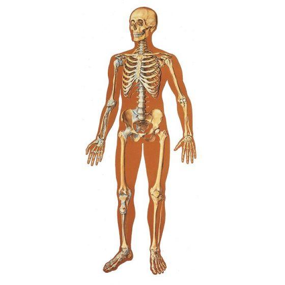 Lehrtafel - Das menschliche Skelett mit Bändern V2001U