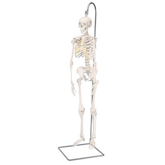 "Mini-Skelett ""Shorty"", auf Hängestativ A18/1"