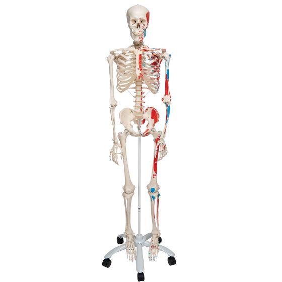 Muskel-Skelett Max auf 5-Fuß-Rollenstativ A11