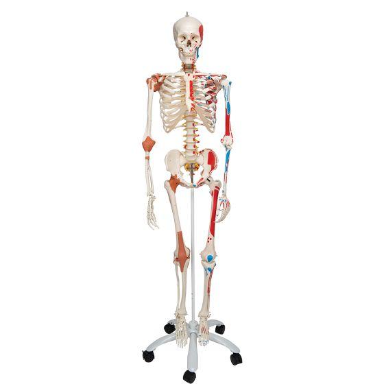 Luxus-Skelett Sam, auf 5-Fuß-Rollenstativ A13
