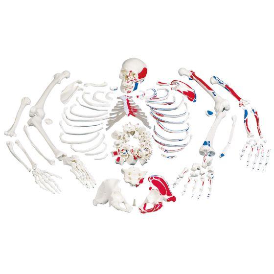 Skelett mit Muskeldarstellung, unmontiert A05/2