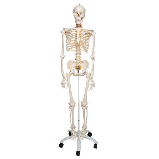 Skelett Fred, Luxus Skelett  auf 5-Fuß-Rollenstativ A15