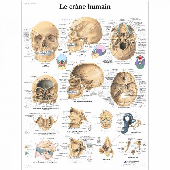 Der menschliche Schädel VR2131L