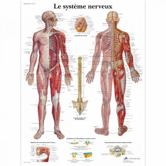 Lehrtafel - Das Nervensystem VR2620L